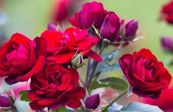 """Antonimina (RC): domenica prossima alla Casa delle Erbe la """"Festa delle Rose"""" 2019"""
